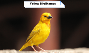 Yellow Bird Names